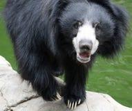 Solbjörn fotografering för bildbyråer