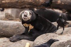 Solbjörn med en galande Royaltyfria Bilder
