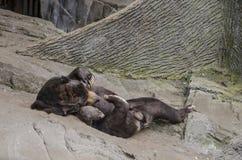 Solbjörn som är skämtsam Royaltyfria Bilder