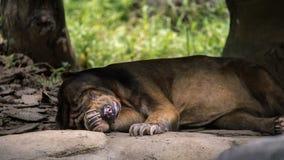 Solbjörnen som sover i skog mellan, vaggar och träd royaltyfri fotografi