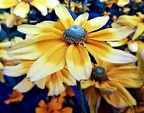 Solblomma Royaltyfri Fotografi