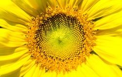 Solblomma Royaltyfria Bilder