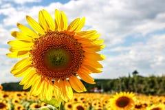 Solblomma Arkivfoton