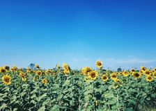 Solblomma Fotografering för Bildbyråer