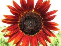 Solblomma med biet royaltyfria bilder