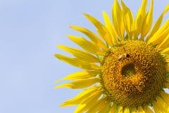 Solblomma med biet under morgonljus Arkivbilder