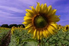 Solblomma på blå himmel royaltyfri foto