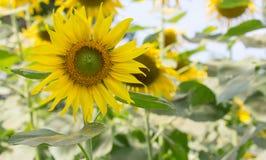 Solblommaträdgård Royaltyfria Foton