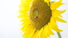 Solblommorna Arkivbild