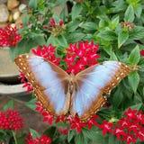 Solbränd och blå fjäril Arkivfoton