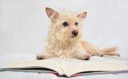 Solbränd terrierhund som lägger på den öppna boken Arkivbilder