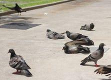 Solbränna för duvafågelflock på betongjordning Arkivfoton