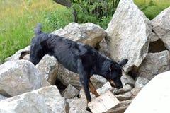 Solch ein Hund fragt eine begrabene Person ab Stockfoto