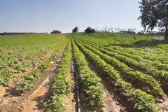 Solchi delle fragole in Elyachin, Israele Immagine Stock