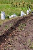 Solco con il raccolto di giovani patate Agricoltura nel giardino della campagna Fotografia Stock Libera da Diritti