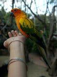 SolConure papegoja som förestående äter Royaltyfri Fotografi