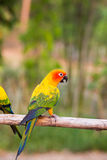 SolConure papegojor Arkivbild