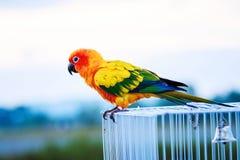 Solconurepapegoja, fågel Fotografering för Bildbyråer