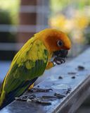 Solconurepapegojan äter Royaltyfri Bild