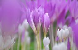 Solcyicum speciosum flower. Stock Image