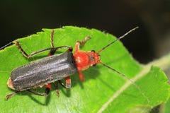 Soldado Beetle Imagem de Stock