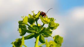 Soldado Beetle con la presa de la mosca de sierra en un ranúnculo de arrastramiento metrajes