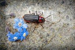 Soldado Beetle, rustica de Cantharis que emerge de la flor de la nomeolvides encendido a una piedra fotografía de archivo libre de regalías