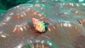 Soldado Crab del cáncer del ermitaño en fondo del fondo del mar subacuático en Maldivas almacen de metraje de vídeo