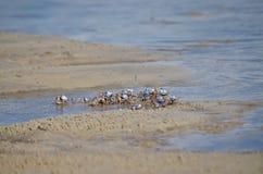 Soldado Crabs Fotos de archivo