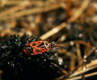 Soldado del escarabajo en gotitas en hierba seca Imagenes de archivo