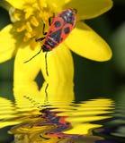 Soldado del escarabajo por el agua fotografía de archivo