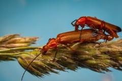 Soldado rojo común Beetles, fulva de Rhagonycha Fotografía de archivo