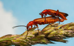 Soldado rojo común Beetles, fulva de Rhagonycha Fotografía de archivo libre de regalías