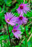 Soldanella alpine blossoming spring Stock Photo