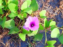 Soldanella do Calystegia - trepadeira do mar - Violet Wild Flower Weed no litoral imagem de stock royalty free