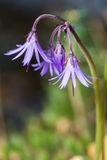 Soldanella montana Stock Photography