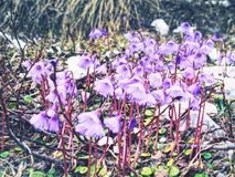 Soldanelle des Alpes, Soldanella alpina Försiktiga lilablomningar Arkivbild