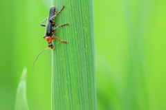 Soldat Beetle Arkivfoton