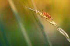 Soldat Beetle Lizenzfreies Stockfoto