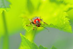Soldat bordé de deux Beetle Photographie stock