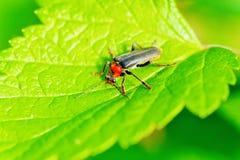 Soldat bordé de deux Beetle Photos stock