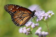 Soldat Butterfly - eresimus de Danaus Photo stock