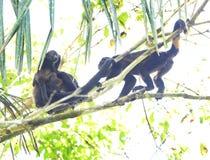 Soldaten för grodaapan i träd med behandla som ett barn, corcovad0, Costa Rica Arkivfoton
