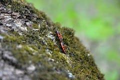 Soldats d'insecte-deux de scarabée Photos libres de droits