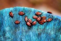 Soldats rouges de scarabées Images stock