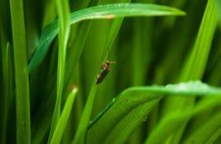 Soldatskalbagge i grönt gräs Djurlivmakrofoto Arkivfoton