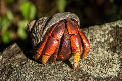Solder Crab Peeks Out of Shell. A red and orange soldier crab peeks out of its shell while perched on a rock royalty free stock image