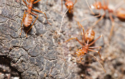 Soldier ant protect working ant in the nature Royalty Free Stock Image
