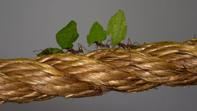 Soldier Ants on the Move Royalty Free Stock Photo