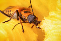 Soldier Beetle. Inside the flower of a pumpkin vine.  Pollen can be seen on its face Stock Images